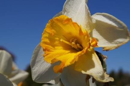 Daffodil | 1/500 sec | f/9.0 | 35.0 mm | ISO 100