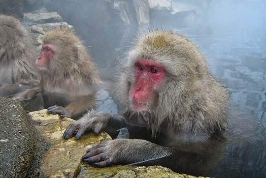 Description: Snow monkeys are taking a bath in the hot springs of the Jigokudani